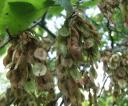 DR.0620.82 wiazowe nasiona dojrzewaja