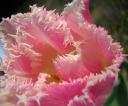 bajeczny_tulipan1a