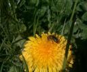 pszczolka1a