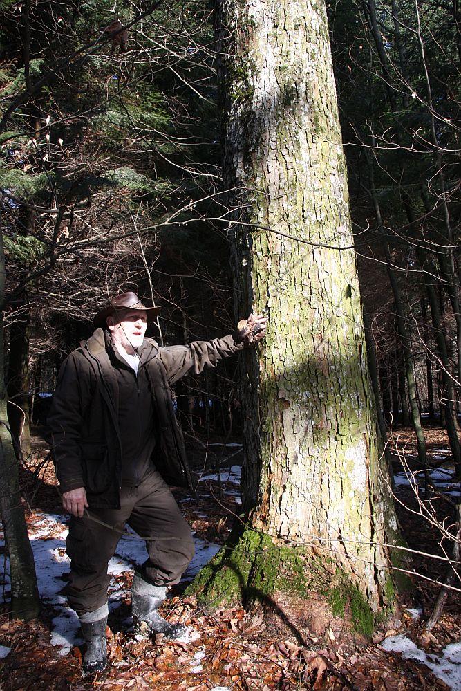 Lesniczy Franciszek Kostka przy jednym z dorodnych jaworów