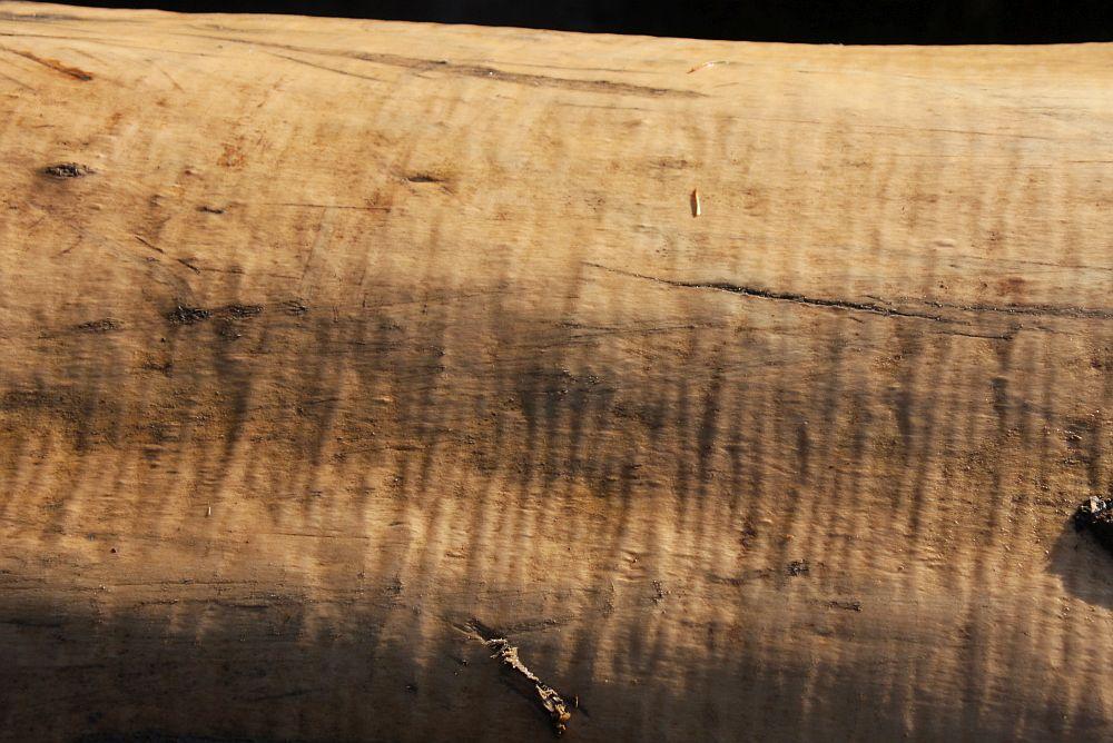 """Wada drewna zwana falistością słojów jest w tym przypadku cenną zaletą surowca rezonansowego Wysokie ceny pojedynczych kłód na submisjach drewna rozpalają wyobraźnię, która nakazuje widzieć to drewno jako idealny walec, bez jakichkolwiek wad. Tymczasem prawda jest dość złożona. Wciąż niepobity zostaje rekord cenowy na drewno uzyskany podczas VII submisji w 2006 roku. Wówczas to za kłodę jaworu (los 2101), pozyskanego w Nadleśnictwie Bircza, niemiecka firma okleiniarska zaoferowała 27 072 złote za metr sześcienny. Kłodę tę pozyskano w Paśmie Chwaniowskim w Nadleśnictwie Bircza. Podczas wykonywania zabiegów hodowlanych  w drzewostanie, leśniczy wyznaczył do ścinki typowy """"rozpieracz"""" jaworowy, ocieniający kępę młodnika jodłowego. Podczas ścinki zauważono, że drewno ma falisty układ słojów, więc, mimo że krótkie, może znaleźć nabywcę. Jak się później okazało kłoda o wymiarach 2,9 m x 68 cm i masie 1,05 m3 osiągnęła zawrotną cenę. Wypadałoby jednak przypomnieć o innym rekordowym jaworze z tamtej submisji, który przy masie 2,09 metra sześciennego nie osiągnął najwyższej ceny jednostkowej, ale łączna jego wartość sięgnęła 49 tys. złotych. Nigdzie dotąd nie sprzedano jednej kłody za takie pieniądze. Pochodziła ona z leśnictwa Olszany (Nadl. Krasiczyn). Co ciekawe, na tegorocznym przetargu jawor rezonansowy z tegoż leśnictwa (los 636) osiągnął najwyższą cenę - 19.5 tys. zł. za metr sześcienny. Został pozyskany podczas cięć odsłaniających młodniki bukowo-jaworowe. - Był dość niski, """"siedział"""" w drugim piętrze drzewostanu, miał mocno rozbudowaną koronę a pień krzywy - mówi leśniczy Franciszek Kostka. - Na pierwszy rzut oka jego drewno niczym się nie wyróżniało, poza tęgą krzywizną odziomkową. Dopiero odsłonięcie fragmentu tzw. pobocznicy, pokazało, że falistość słojów ciągnie się na kilka metrów od pnia. Wtedy już nie było wątpliwości, że ta kłoda może być atrakcyjna dla kupców.   Leśnictwo Olszany ma drzewostany bardzo zróżnicowane gatunkowo i zasobne. Sporo w nich jaworów, """