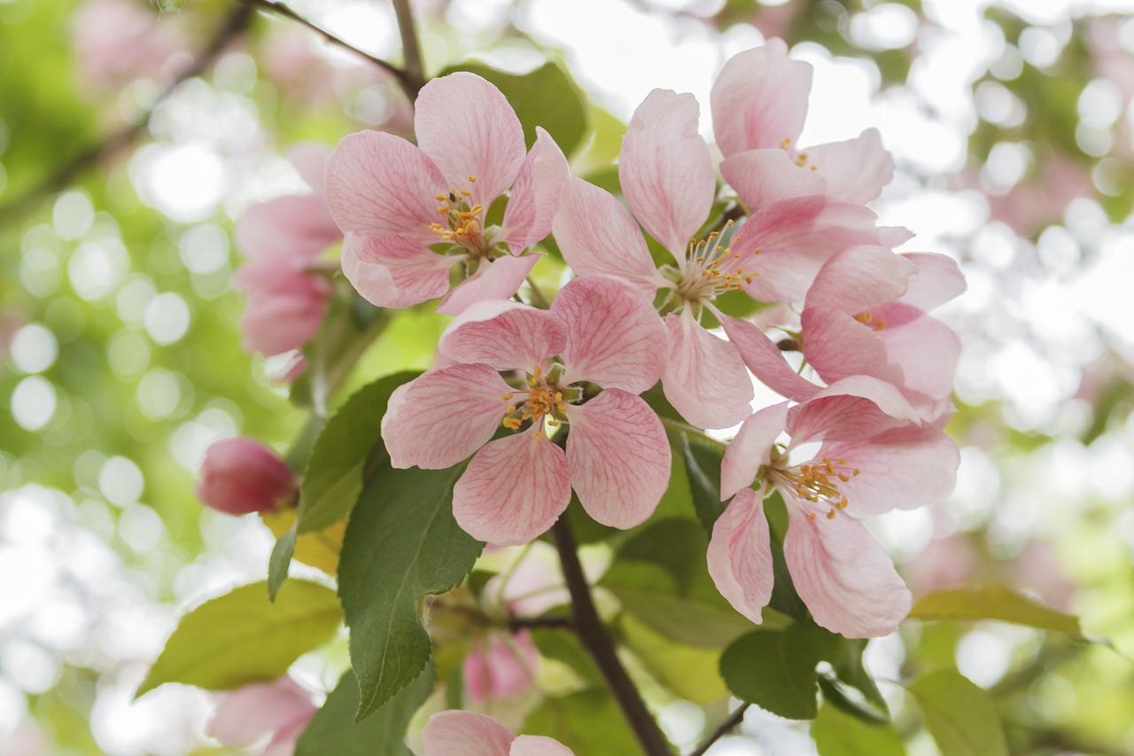 apple-tree-779250_1280