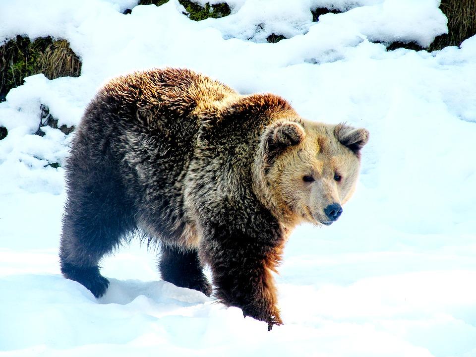 bear-2298529_960_720