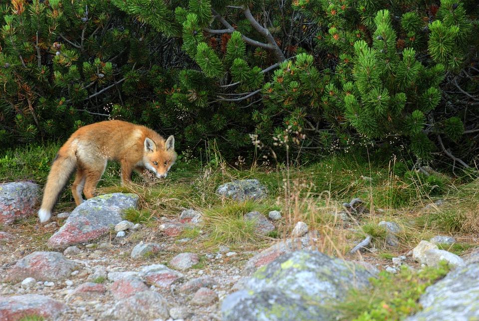 fox-1419362_960_720