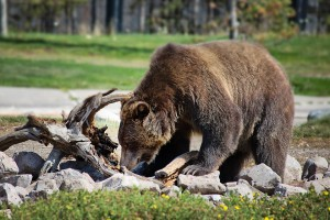 grizzly-bear-2788680_960_720