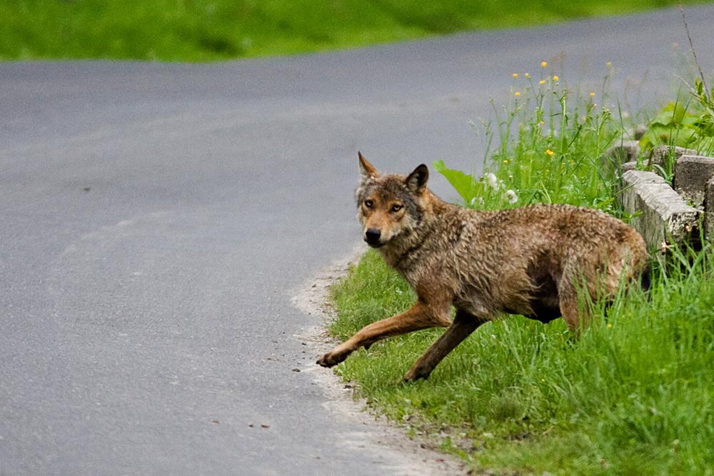 wilk-f-wojtek-zatwarnicki
