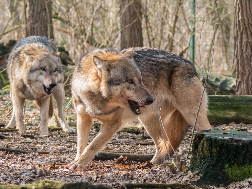 wolf-1226703_960_720