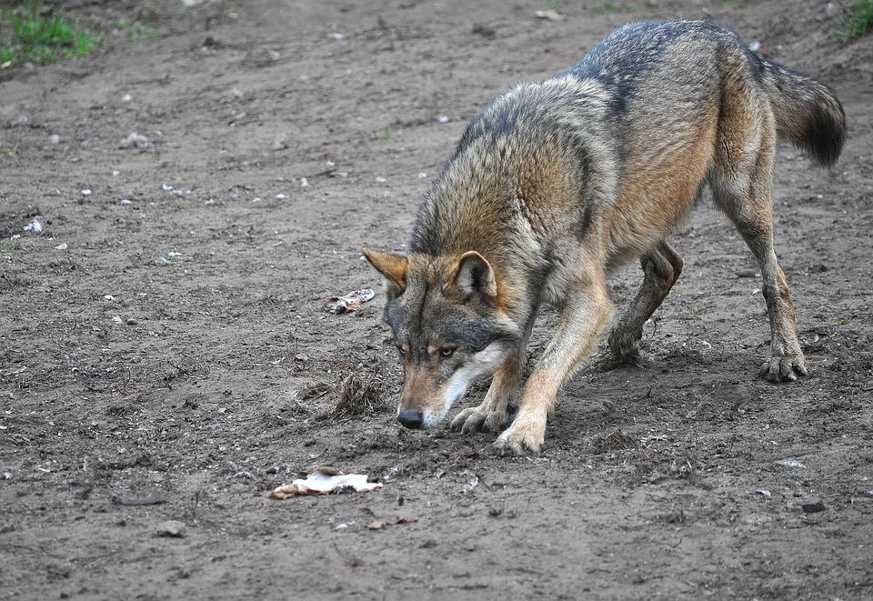 wolf-1411365_960_720