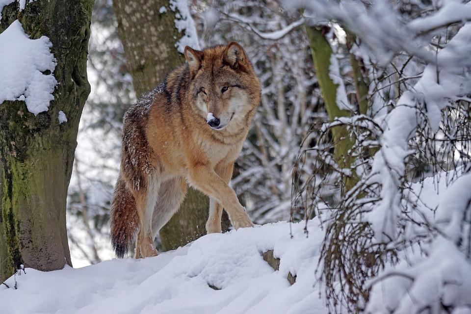 wolf-1972762_960_720