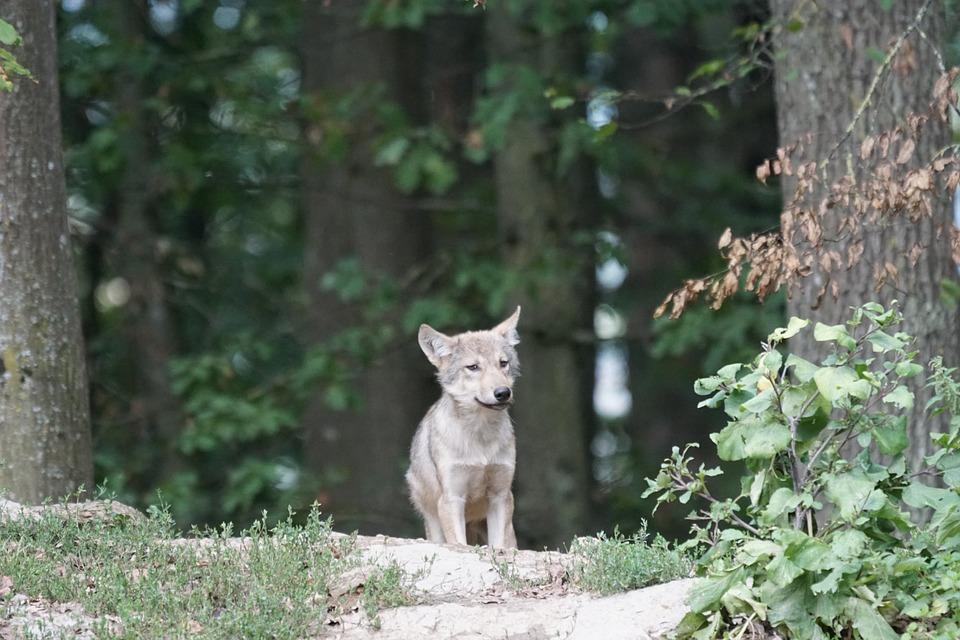 wolf-907682_960_720