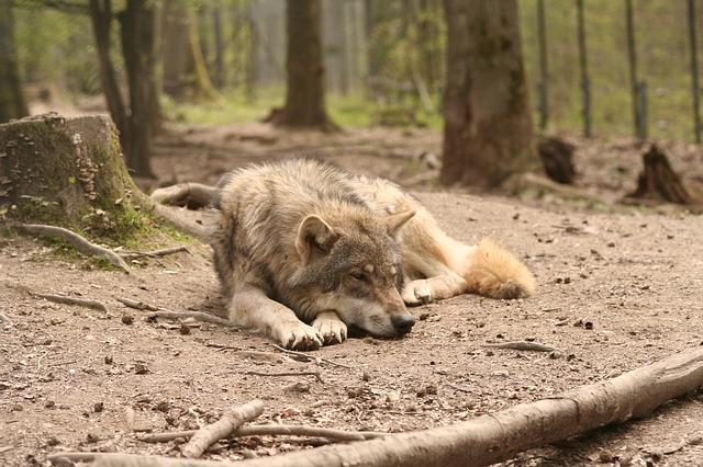 wolf-91522_640