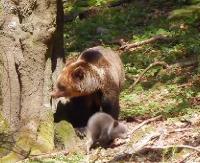 BIESZCZADY: Niedźwiedzie maluchy rozrabiają! Mama bacznie je obserwuje (FILM)