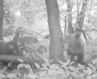 Mała przerwa pod czereśnią. Bieszczadzkie niedźwiadki rosną jak na drożdżach (FILM)