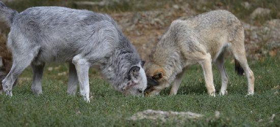 Atak wilków w Uluczu. 50 metrów od zabudowań!