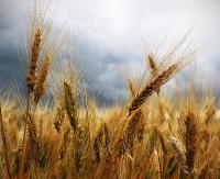 REGION: Pojadą do Warszawy protestować przeciwko uprawom GMO w Polsce