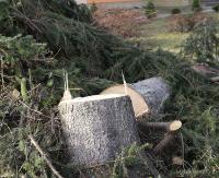 Raban o drzewa. Wycięto kilkudziesięcioletnie świerki. Były chore i zagrażały bezpieczeństwu dzieci (ZDJĘCIA)