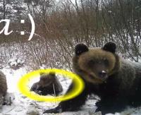 Kilka słów o niedźwiedzicy Adze, celebrytce Nadleśnictwa Baligród (FILM)