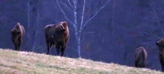 BIESZCZADY: Co słychać u baligrodzkich żubrów? (VIDEO)