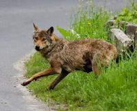 Martwy wilk nie był ofiarą kłusowników. Prawdopodobnie został potrącony