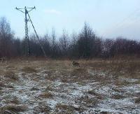 INTERWENCJA: Bliskie spotkanie z wilkiem? Zdjęcia Internauty