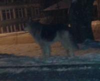 Wataha wilków spacerująca w centrum Bukowska? Relacja i zdjęcia Internauty