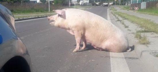 PODKARPACIE: Świnia na ulicy. Uciekła z transportu do ubojni