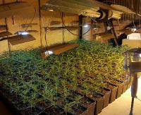 Zlikwidowano potężną uprawę konopi. Zabezpieczono blisko 250 kg marihuany (FILM, ZDJĘCIA)