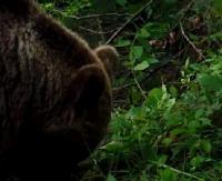 BIESZCZADY: Niedźwiedzie czereśniami nie pogardzą (FILM)