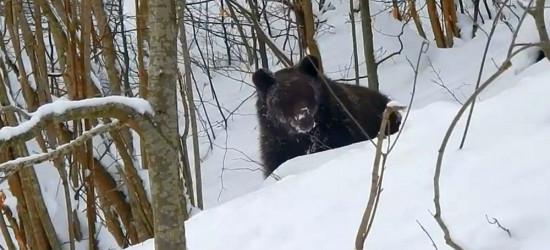 """BIESZCZADY: """"Czemu nie śpisz?!"""" Rozmowy leśniczego z miśkiem (VIDEO)"""