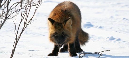 Wzmożona aktywność dzikiej zwierzyny. Apel do mieszkańców