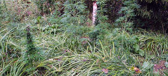 Plantator konopi indyjskich przyłapany na gorącym uczynku (ZDJĘCIA)