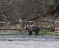Niedźwiedź na parkingu! Uważajmy na bliskie spotkania (FILM)