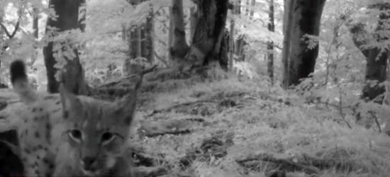 BIESZCZADY: Ryś zagląda w oko fotopułapki (VIDEO)