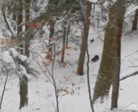 Wataha wilków zaatakowała niedźwiedzią rodzinę! Zobacz jaki był finał (FILM)