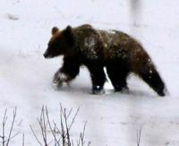 BIESZCZADY: Niedźwiedź z Polany ma się dobrze