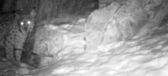 BIESZCZADY: Nocne spacery rysia z Polanek (VIDEO)
