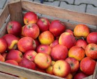Darmowe jabłka dla sanoczan pod Areną. Już od godziny 9:00
