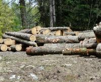 Przetarg ofertowy na sprzedaż drewna wielkowymiarowego