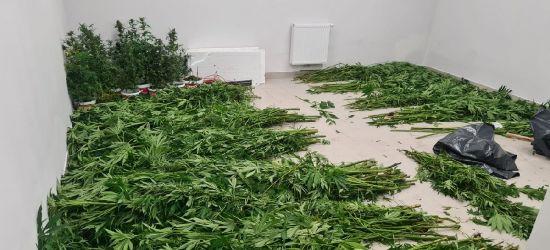 Zlikwidowano trzy nielegalne plantacje (ZDJĘCIA)