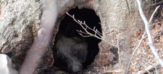 Niedźwiedzie zaszyły się w gawrach