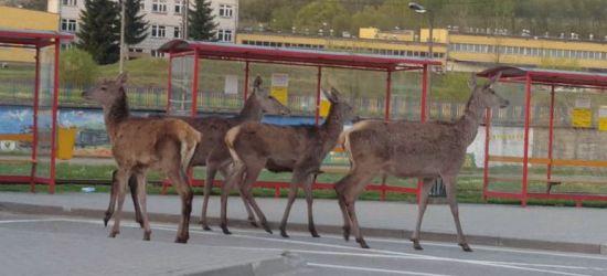 """Dzikie zwierzęta na ulicach miasta. """"Człowiek wypiera je z siedlisk"""""""