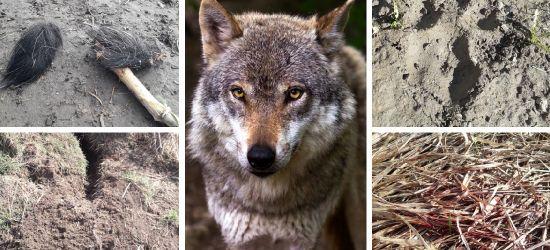 """INTERWENCJA: Mieszkańców """"nachodzą"""" wilki, hybrydy czy psy? (ZDJĘCIA)"""