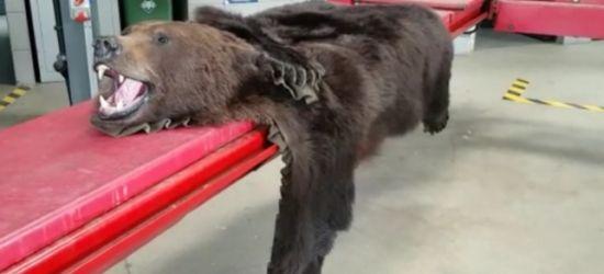 Próbował przemycić skórę niedźwiedzia (VIDEO)