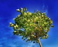 JUTRO: Na Placu Harcerskim będą rozdawać drzewka dla sanoczan