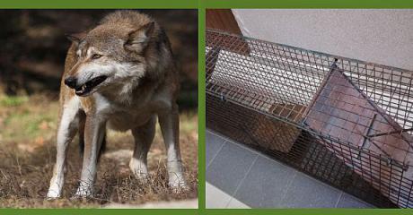 """Sanocki wilk na razie nieuchwytny. """"Sytuacja cały czas jest monitorowana"""" (FILM, ZDJĘCIA)"""