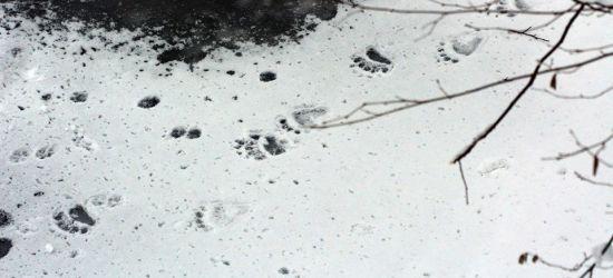 BIESZCZADY: Niedźwiedź tu był… Spacer po kruchym lodzie (FOTO)
