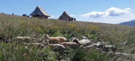 BIESZCZADY: Owce przy bacówkach już się pasą! (ZDJĘCIA)