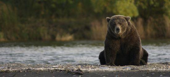 BIESZCZADY: Niedźwiedź Józefek harcuje w pasiece (VIDEO)