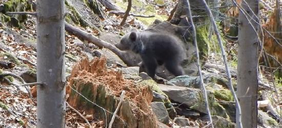 BIESZCZADY: Kiedy dwa maluchy poznają świat! Urocze niedźwiadki (VIDEO)