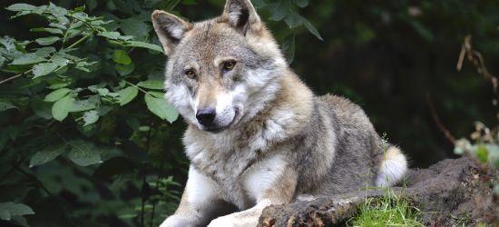 BIESZCZADY: Czasem gospodarz tupnie nogą na wilka (VIDEO)